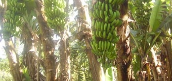 bananacrop